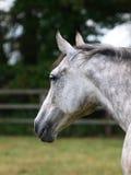 Testa di cavallo graziosa Fotografie Stock Libere da Diritti