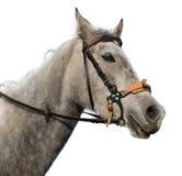 Testa di cavallo isolata Fotografie Stock
