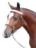 Testa di cavallo isolata della baia Fotografie Stock Libere da Diritti