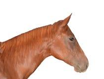 Testa di cavallo isolata su bianco Fotografie Stock Libere da Diritti