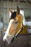 Testa di cavallo nella stalla Fotografia Stock