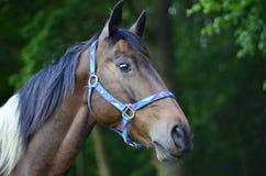 Testa di cavallo quarta Fotografia Stock