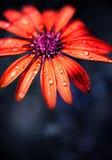 Testa di fiore bagnata rossa Immagini Stock