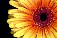 Testa di fiore del Gerbera Immagine Stock