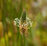 Testa di fiore del plantano Fotografia Stock Libera da Diritti