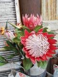Testa di fiore del re Protea fotografia stock