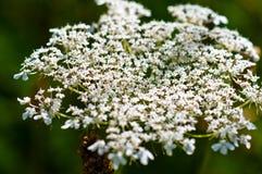 Testa di fiore della pianta del millefoglio Fotografia Stock