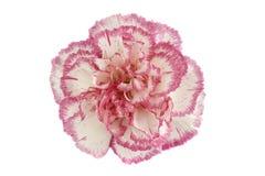 Testa di fiore dentellare e bianca del garofano immagine stock libera da diritti