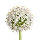 Testa di fiore di una cipolla (cepa dell'allium) su bianco Fotografie Stock Libere da Diritti