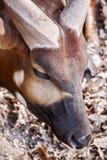 Testa di fotografia della fauna selvatica dell'antilope africana del bongo e del corno Fotografie Stock