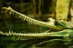 testa di gharial Fotografia Stock