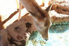 Testa di giovane cervo Fotografia Stock Libera da Diritti
