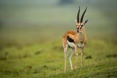 Testa di giri della gazzella di Thomson sul pendio erboso Immagini Stock Libere da Diritti