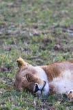 Testa di grande leonessa Masai Mara, Kenia Fotografie Stock Libere da Diritti