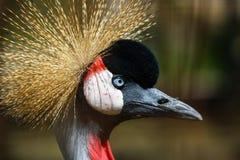 Testa di Grey Crowned Crane Fotografia Stock