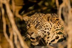 Testa di Jaguar del primo piano che guarda attraverso le viti Immagine Stock