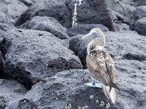 testa di legno Blu-footed, excisa di nebouxii della sula, sedentesi su una roccia, Santa Cruz, Galapagos, Ecuador Fotografia Stock Libera da Diritti