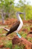 testa di legno Blu-footed su Seymour Island del nord, PA nazionale di Galapagos Fotografie Stock
