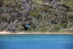 Testa di legno brasiliana dell'uccello marino Fotografie Stock