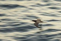 Testa di legno di Brown, Sula Leucogaster, sorvolante l'oceano con moto Immagini Stock Libere da Diritti