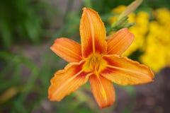 Testa di Lilia arancio Fotografia Stock