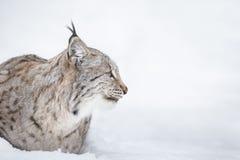 Testa di Lynx nel profilo Immagine Stock