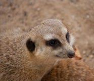 Testa di meercat curioso Fotografia Stock Libera da Diritti