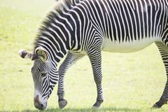 Testa di pascolo della zebra immagini stock libere da diritti