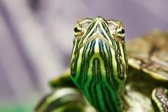 Testa di piccola tartaruga dell'rosso-orecchio in terrario fotografia stock libera da diritti