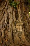 Testa di pietra del buddha sulla radice dell'albero fotografia stock