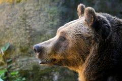Testa di profilo dell'orso bruno di Marsican Fotografia Stock