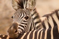 Testa di riposo della zebra fotografia stock