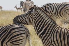 Testa di riposo della zebra delle pianure un'altra zebra Fotografia Stock