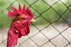 Testa di rosso di un gallo o di un gallo su di cortile Agricoltura del concetto Fotografia Stock