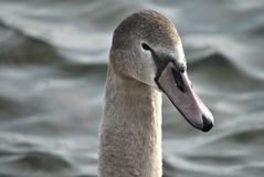 Testa di Swan=s Immagini Stock Libere da Diritti