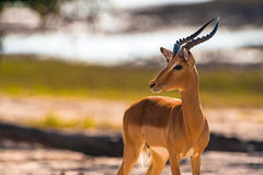 Testa di tornitura dell'impala Immagine Stock