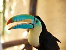 Testa di toucan Fotografia Stock