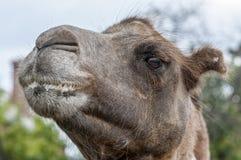 Testa di un cammello Fotografia Stock Libera da Diritti