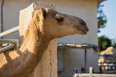 Testa di un cammello nel parco del cammello, Larnaca, Cipro immagini stock