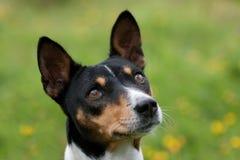 Testa di un cane tri-color Fotografia Stock