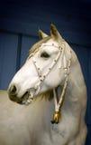 Testa di un cavallo bianco Fotografia Stock