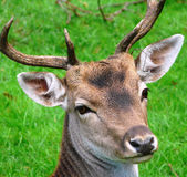 Testa di un cervo fotografia stock libera da diritti