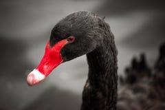 Testa di un cigno nero con un becco rosso immagini stock