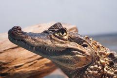 Testa di un coccodrillo Immagine Stock