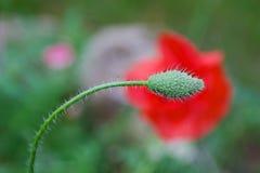 Testa di un fiore futuro del papavero Fotografia Stock Libera da Diritti
