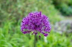 Testa di un fiore porpora Fotografia Stock