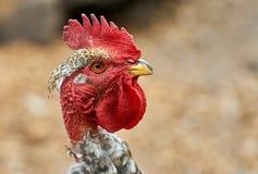 Testa di un gallo Fotografie Stock