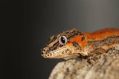 Testa di un geco a strisce rosso del doccione Fotografia Stock
