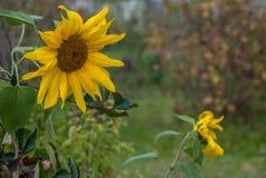 Testa di un girasole di fioritura in tempo nuvoloso Fotografia Stock