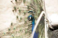 Testa di un pavone Immagini Stock Libere da Diritti